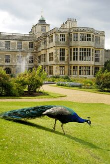 Peacock at Audley End N071337