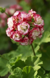 Pelargonium 'Apple Blossom Rosebud' M070284