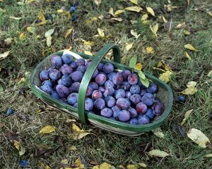 Plums in trug K031078