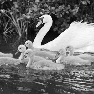 Swan and cygnets AA064278