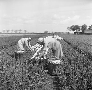 Tulip picking, Lincolnshire AA98_09310